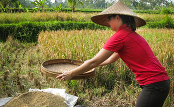 An_attempt_at_rice_harvesting