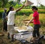 Rice_harvest_with_wayan