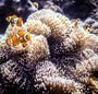 Clown_fish_off_moyo